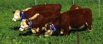 clever collar keeps cows in a virtual paddock